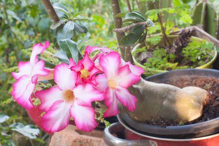 obesum: Beautiful Pink Adenium obesum. Desert Rose