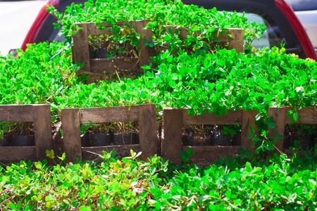repens: Green Amendoim Grass. Cientific Name Arachis Repens Stock Photo