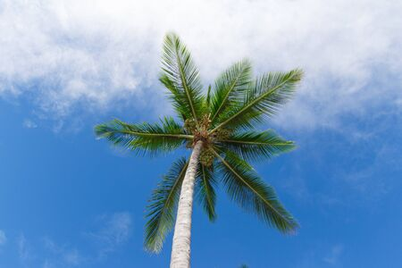 Coconut tree in Bahia, Morro de Sao Paulo, Brazil Stock Photo