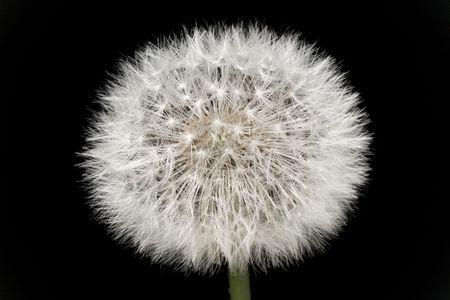 Dandelion, close up