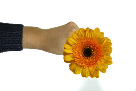 yellow gerbera isolated on: Yellow gerbera in hand isolated on white background, copy space Stock Photo