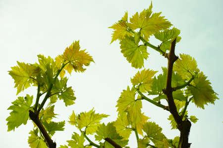 vernal: Vernal grape leaves in vineyard and blue sky, spring time on Corfu