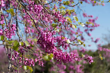 redbud tree: Redbud tree pink flowers, spring background