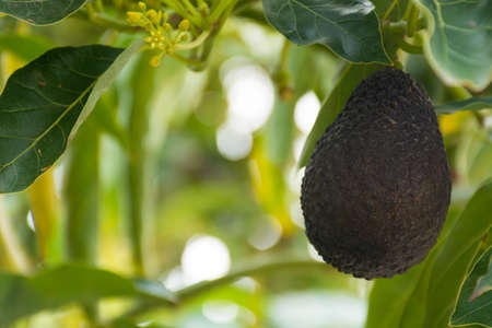 Green ripe avocado hanging on the tree in Corfu, Greece Banco de Imagens