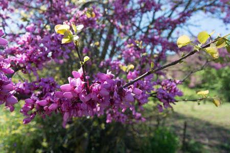 redbud: Redbud tree pink flowers, spring background
