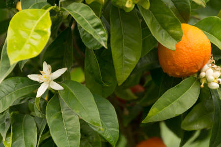 Mandarin orange tree with flowers and ripe mandarin fruit in the garden Banco de Imagens