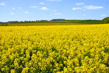 raps: Cultivated colorful raps field in France Normandy