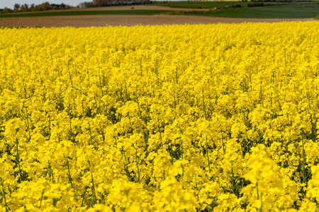 raps: Cultivated colorful raps field in Normandy