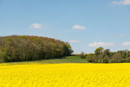 raps: Cultivated colorful raps field in Normandy, france
