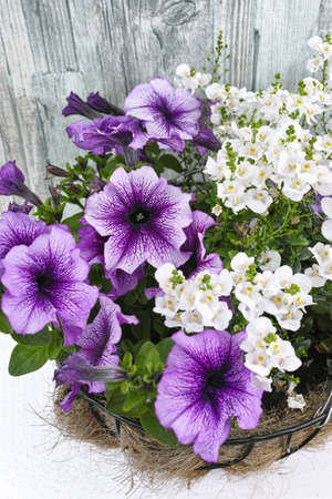 hanging basket: Coconat hanging basket with purple petunia and white flowers on wooden background