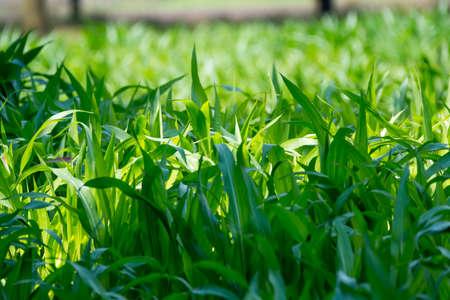 genetically modified crops: Green corn field in Dutch counrtyside
