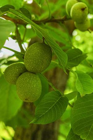 circassian: Walnut tree (Juglans regia) branch with fruit in  summertime