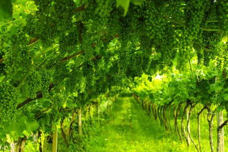 Trentino vineyards in the summer, Italy Stock Photo