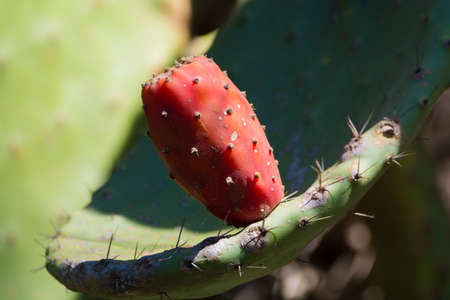 Cactus prickly pear opuntia with ripe pink fruits Stock Photo