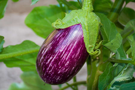 Plant of aubergine - cultivation of eggplants in vegetable garden Stock Photo