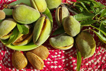 nutshell: Fresh ripe unpeeled almonds with nutshell and leaves in Provence, France