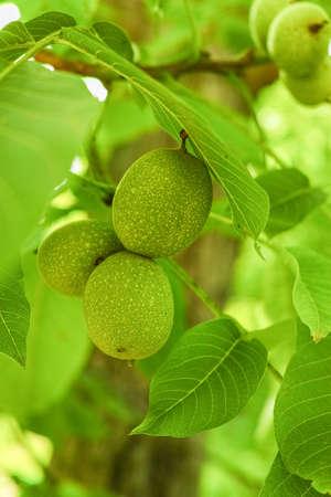 walnut tree: Walnut tree (Juglans regia) branch with fruit in  summertime