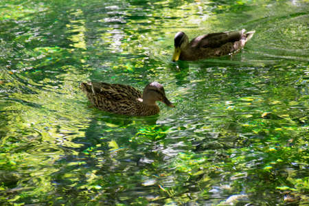 two ducks: Two ducks swimming in clear water on Sourge river, Provence, France