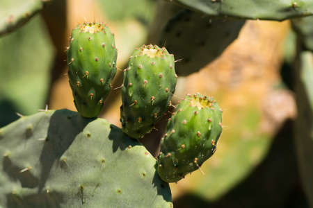 opuntia: Cactus prickly pear opuntia with unripe fruits