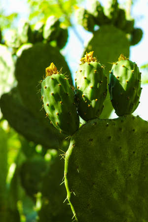 prickly: Cactus prickly pear opuntia with unripe fruits