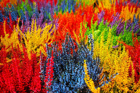 Multicolored blossoming heather Picasso plants, colorful floral background
