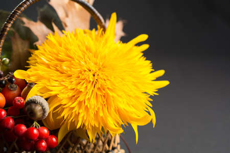 Floral still life with yellow sunflower and orange sorbus in autumn colors on dark background Stock Photo