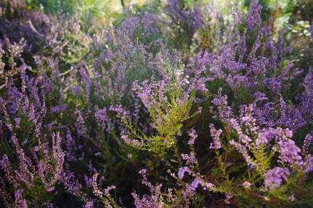 ericaceae: Vibrant pink common heather (Calluna vulgaris) blossoming outdoors. Botanical photo