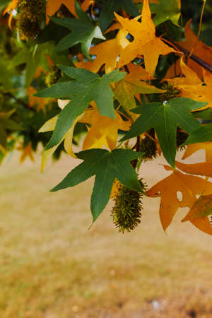 acer palmatum: Autumn colors -  yellow japanese maple tree leafs (Acer palmatum) and yellow grass