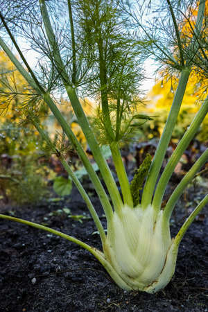foeniculum: Fennel plant growing in the herbs and vegetables garden