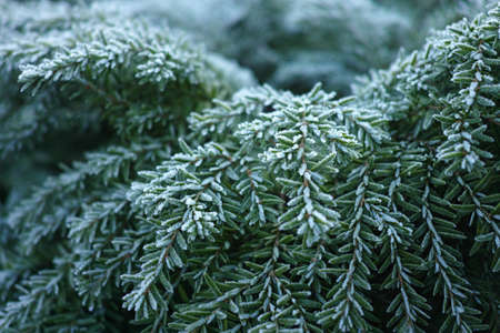 conifer: Winter in Holland - frozen green conifer with hoarfrost