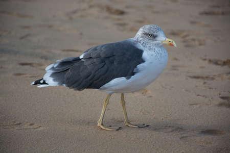 Bird Seagull on the yellow sandy beach close up
