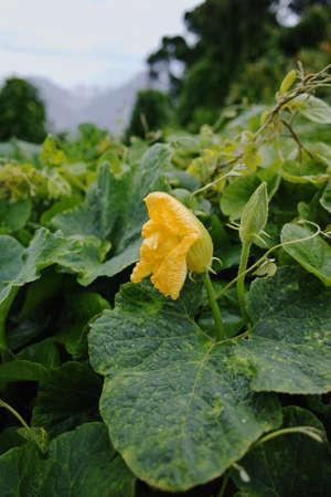 Zucchini (Cucurbita pepo) yellow flower and green leaves. Winter on Tenerife, Anaga