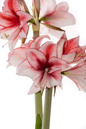 Hippeastrum Amaryllis Charisma, Dutch hybride, big white-pink flowers