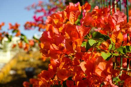 hedge: Bright orange Bougainvillea plant flowers in sunlight