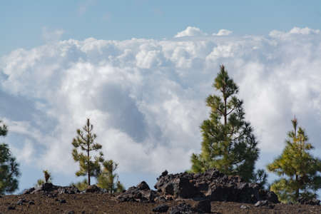 erupting: Teide National Park, Tenerife - the most spectacular travel destination, lava and Canary Island pine tree Stock Photo