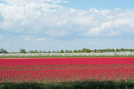 nederland: A magical landscape over tulip field in the Netherlands, springtime Stock Photo