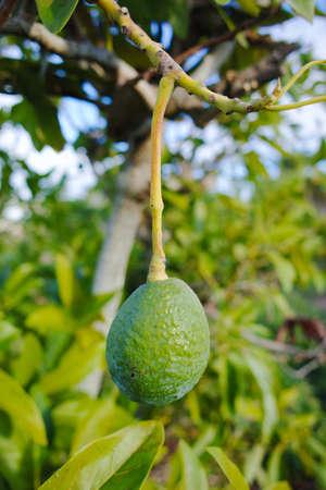 Green ripe avocado on the tree, avocado plantation - healthy food