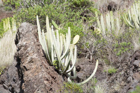 lava field: Ever-green plant growing without water on vulcanic lava field, Tenerife island, Spain