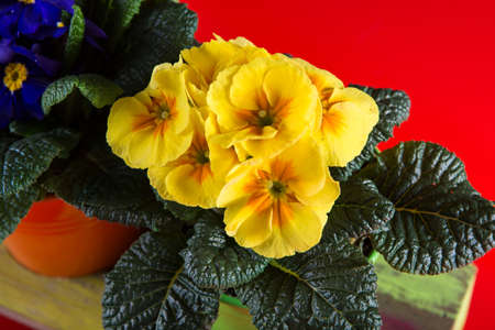 Spring colorful primroses flowers, primula polyanthus in a flowerpot Stock Photo