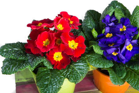 polyanthus: Spring colorful primroses flowers, primula polyanthus in a flowerpot Stock Photo