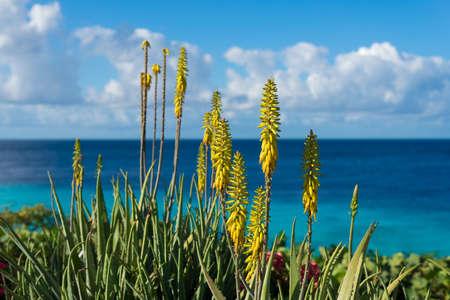beachfront: Blossoming, yellow flowers aloe-vera plant and blue sea, Curacao island, Carribean