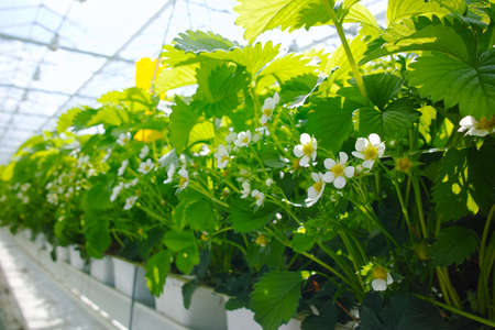 Tasty organic green cucumbers plants growth in big Dutch greenhouse, everyday harvest