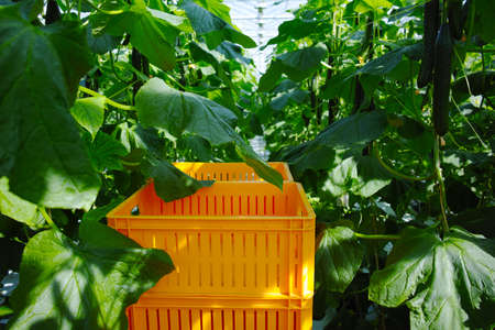 Tasty organic green cucumbers plants growth in big Dutch greenhouse, everyday harvest