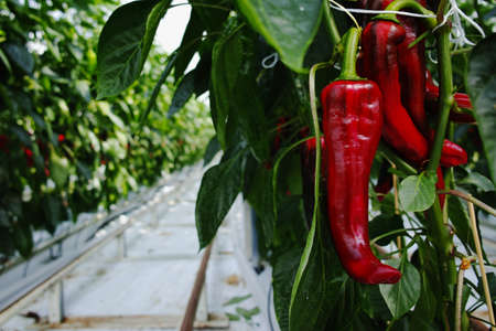 campesino: Tasty organic sweet paprika plants growth in big Dutch greenhouse, everyday harvest Foto de archivo