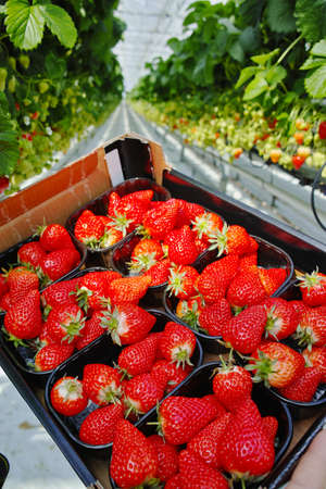 Tasty sweet organic pink strawberry growth in big Dutch greenhouse, everyday harvest