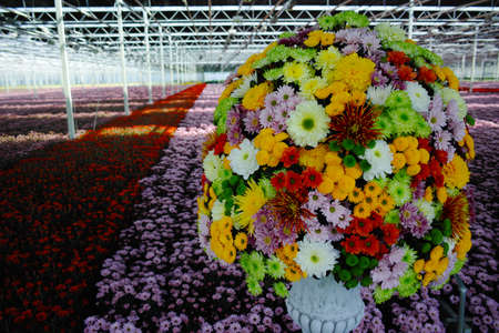 Colorful Chrysanthemum flowers growth in huge Dutch greenhouse, flowers for shops and auctions – world wide delivery