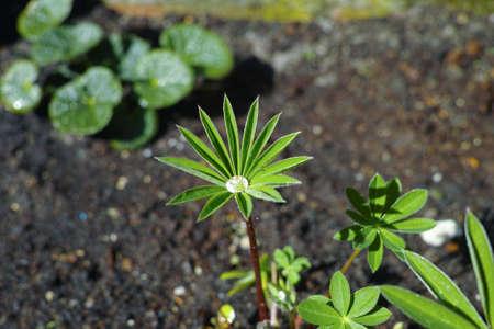 Water drop op young Delphinium plant in the garden, spring season