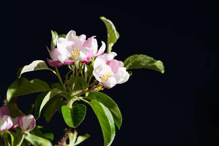 normandy: Apple tree pink blossom - spring season, flowers on the tree Stock Photo