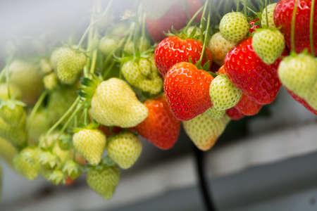 Tasty sweet organic pink strawberry growth in big Dutch greenhouse, everyday harvest