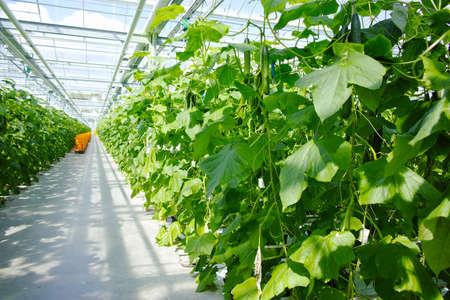 Crecimiento de las plantas de los pepinos verdes orgánicos sabrosos en el invernadero holandés grande, cosecha diaria Foto de archivo - 76589663
